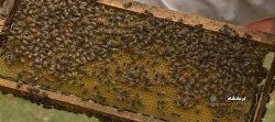 تحقیقی فراتر از عسل